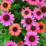 HotCoralConeflower2