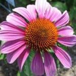 PrairieSplendorConeflower