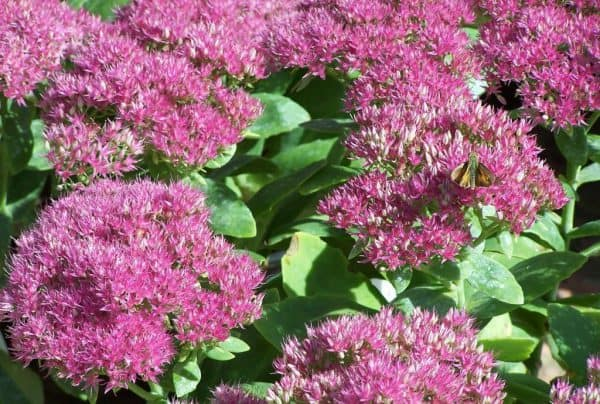Tall Sedum – A Pollinator's Dream Plant