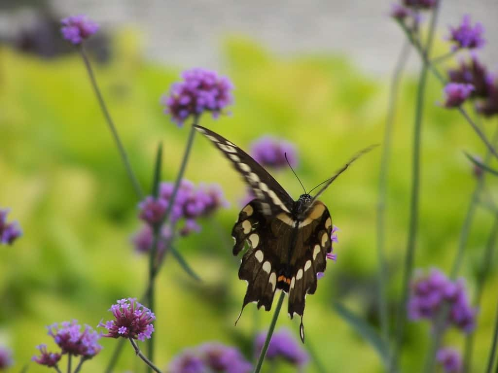 Swallowtail butterfly flying through the lavender flowers of Brazilian verbena
