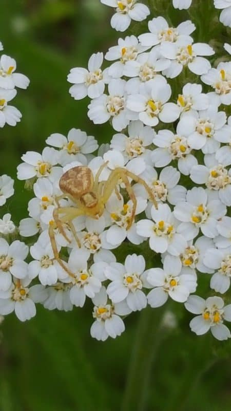 Beautiful Beneficials: Crab Spiders
