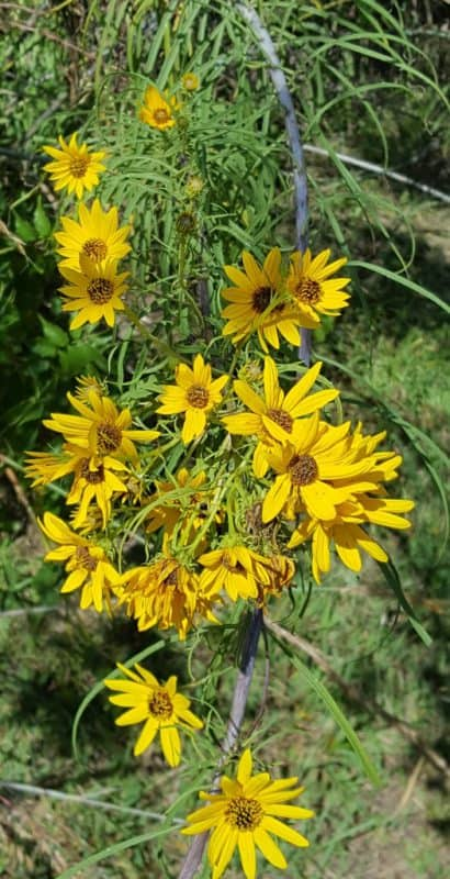 Natives Spotlight: Willowleaf Sunflower
