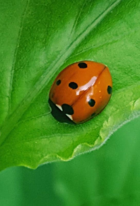 Beautiful Beneficials: Lady Beetles