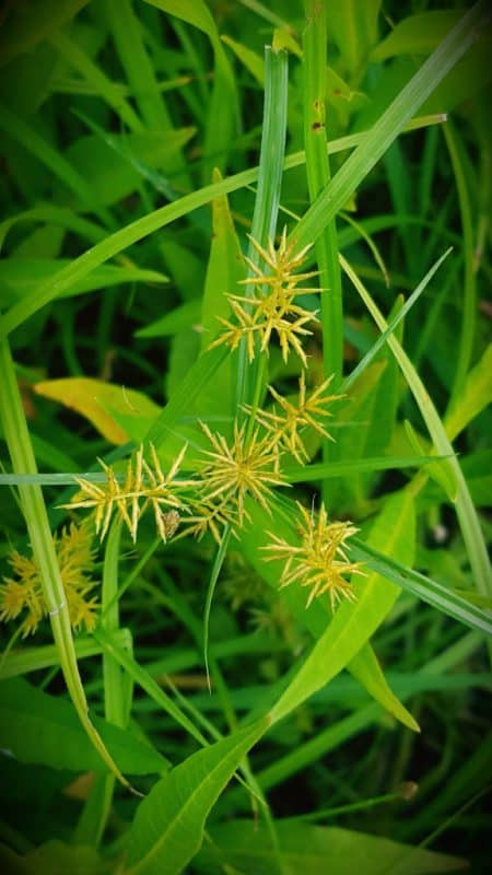 Tough Turf Weeds: Yellow Nutsedge