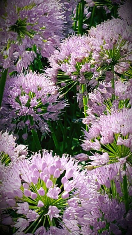 Using Alliums in the Garden