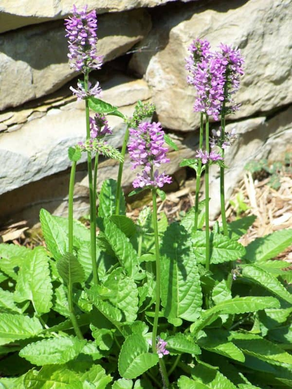 2019 Perennial Plant of the Year: Stachys 'Hummelo'
