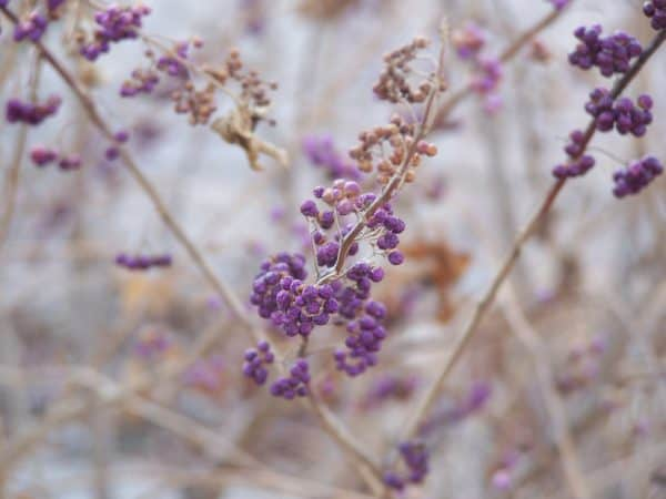 5 Shrubs with Great Winter Interest