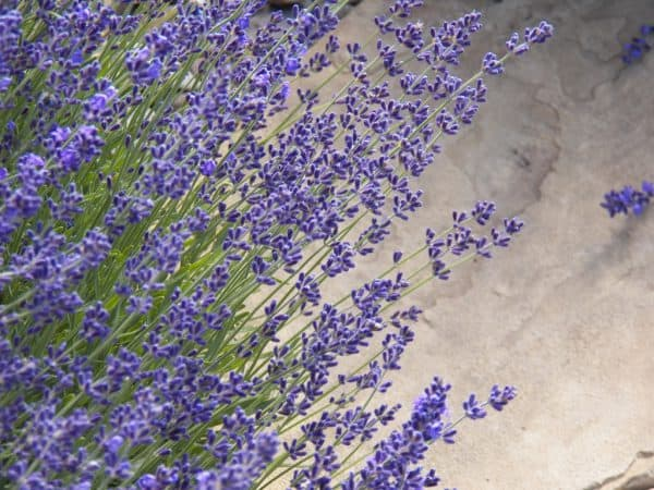 Lavender for Landscapes