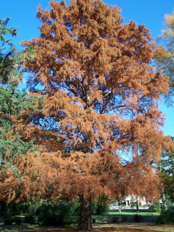 Great Trees: Baldcypress