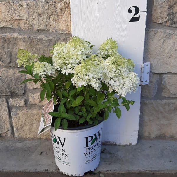 Bobo Hydrangea in front of measuring board, 18 inches tall including 2 gallon pot