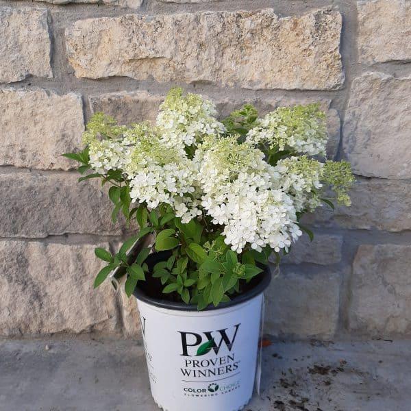 Bobo hydrangea with white full blooms in a 2 gallon pot