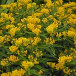 HelloYellowMilkweed