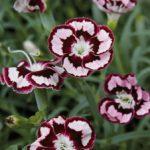 RaspberrySwirlDianthus