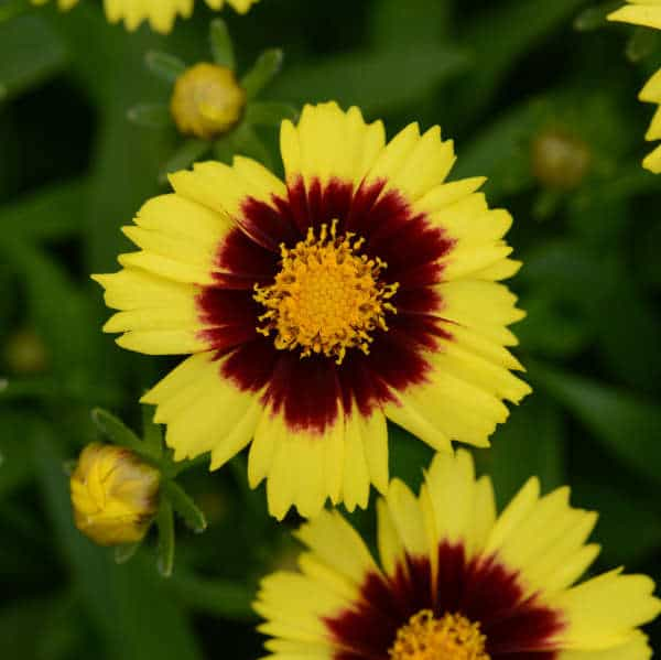 Yellow & Red Uptick Coreopsis – Gallon Container