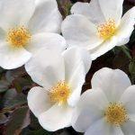 whiteoutrose