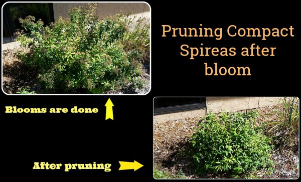 How to Prune Spireas