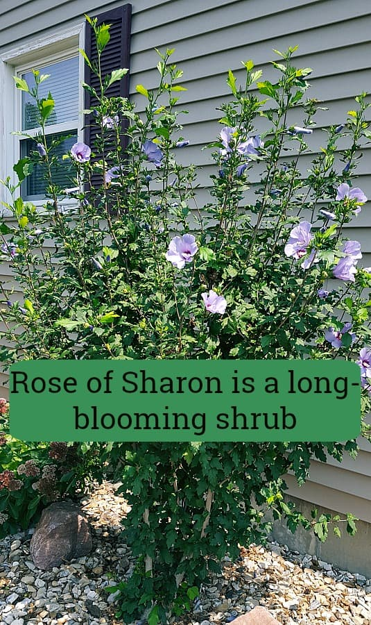 Rose Of Sharon For The Landscape