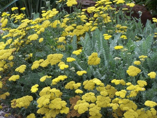 Yarrow for Your Garden