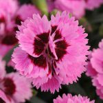 LilacEyeEverlastDianthus