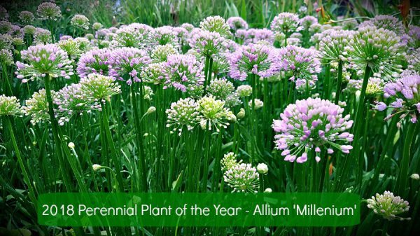 Allium 'Millenium' the 2018 Perennial Plant of the Year