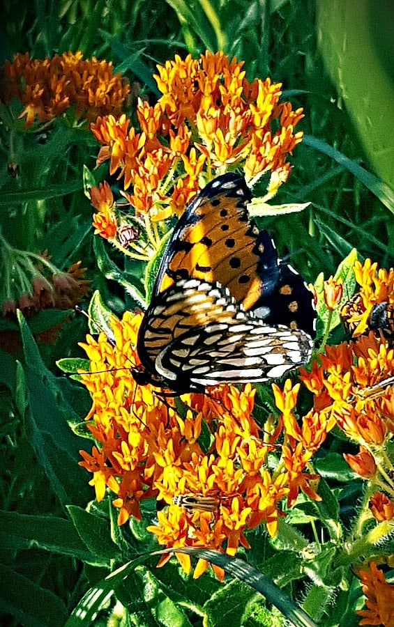 Regal fritillary butterfly on butterfly milkweed