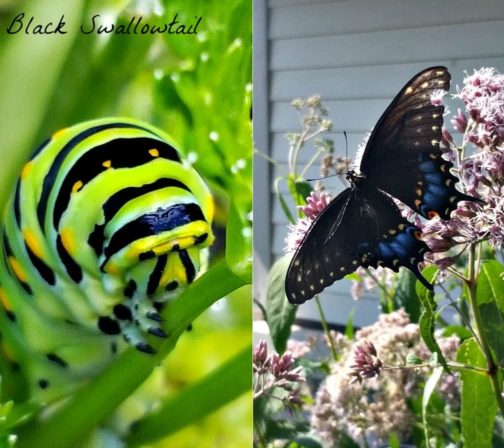 black swallowtail butterfly and caterpillar