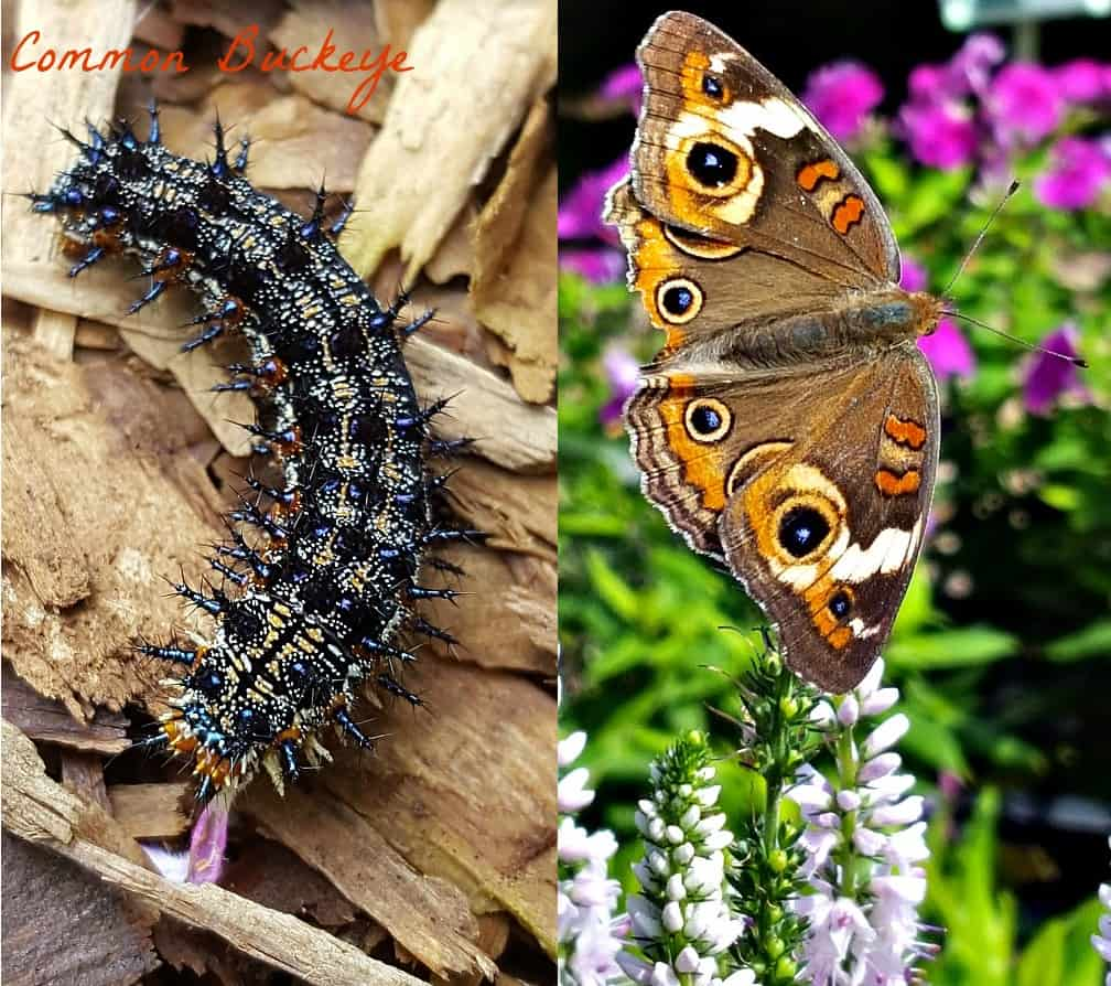 common buckeye butterfly and caterpillar
