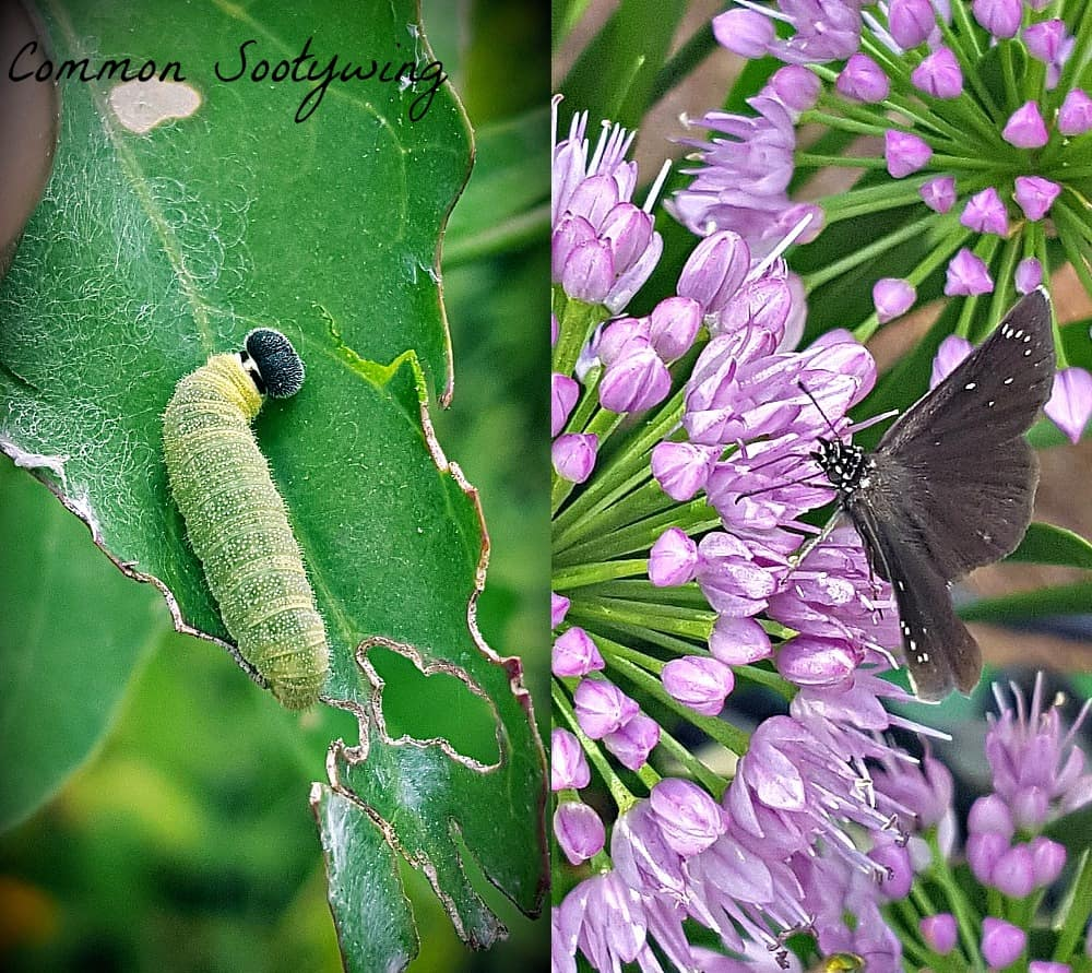 common sootywing butterfly and caterpillar