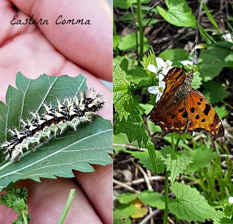 eastern comma butterfly and caterpillar