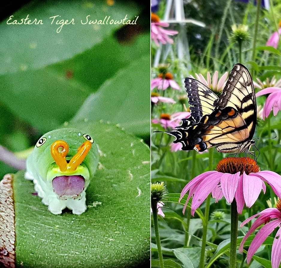 eastern tiger swallowtail butterfly and caterpillar