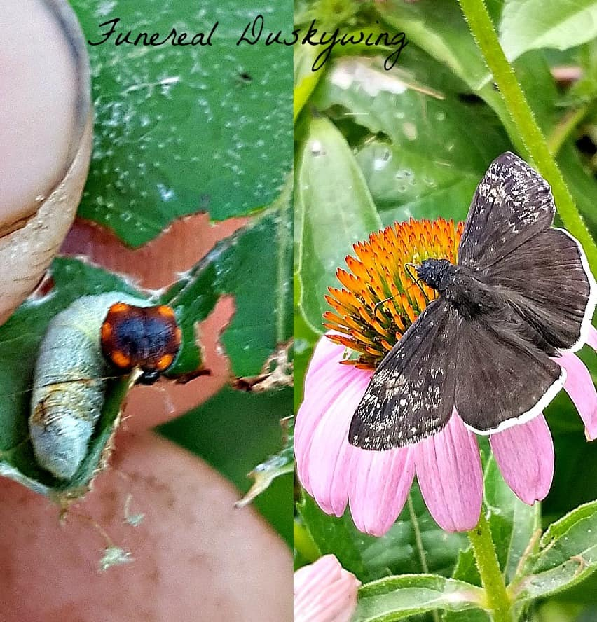 funereal duskywing butterfly and caterpillar