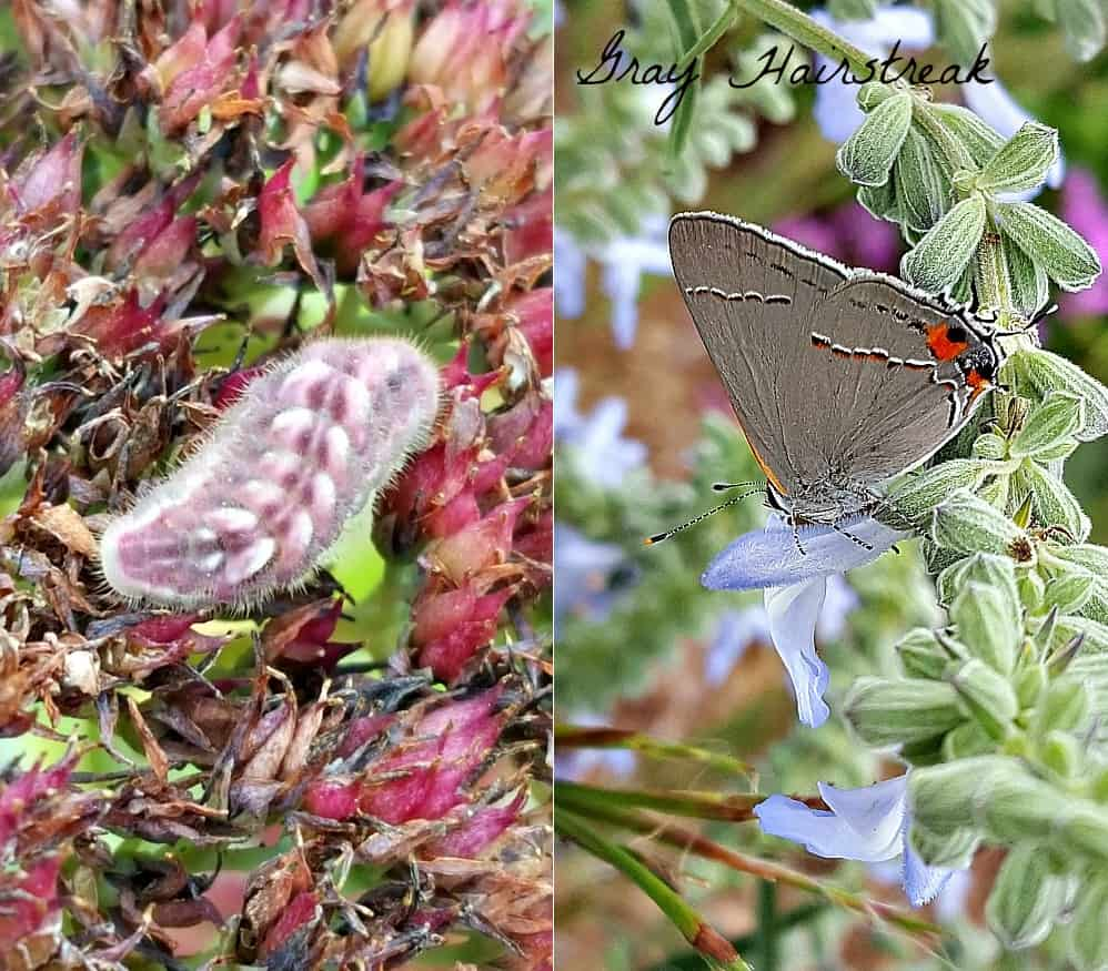 gray hairstreak butterfly and caterpillar