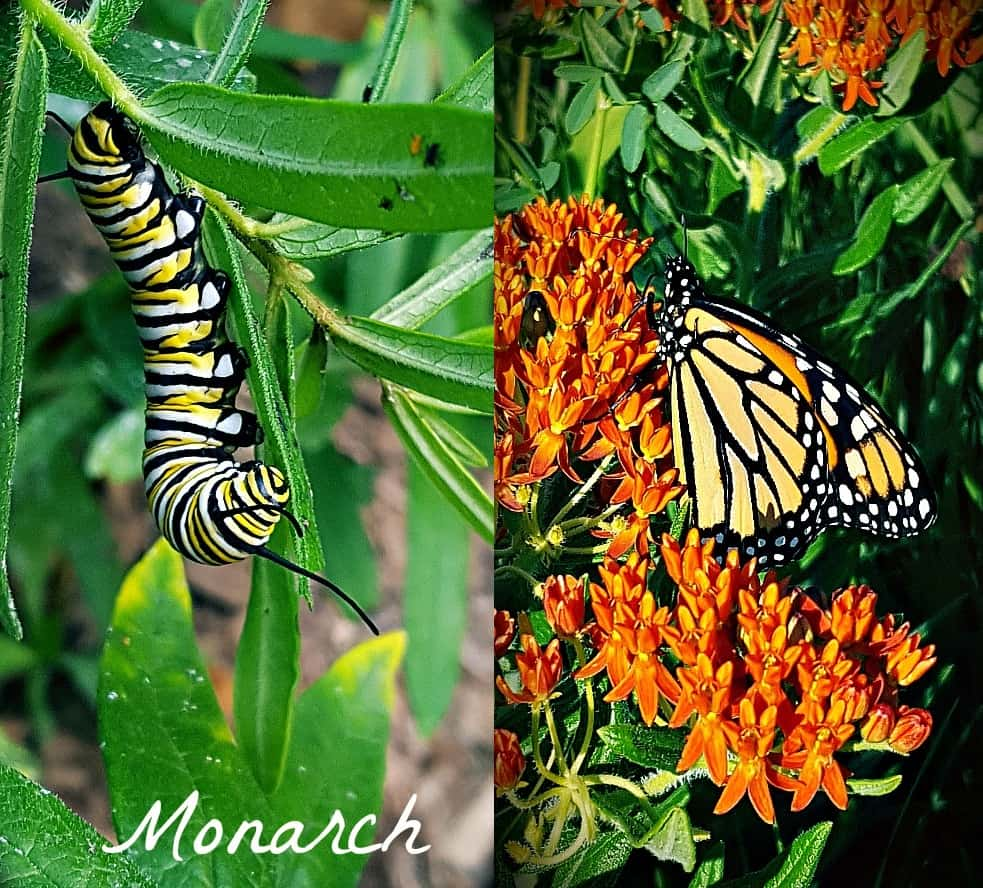 monarch butterfly and caterpillar
