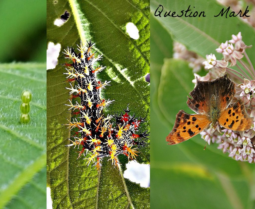 question mark butterfly and caterpillar