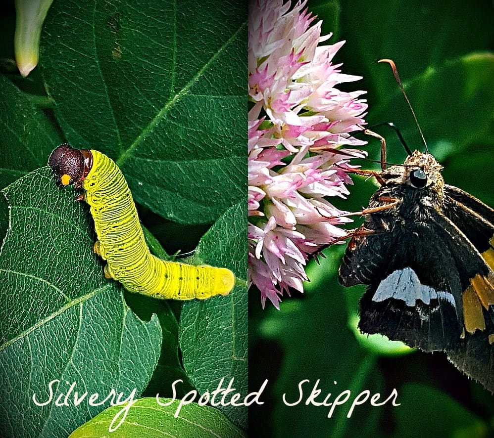 silver spotted skipper and caterpillar