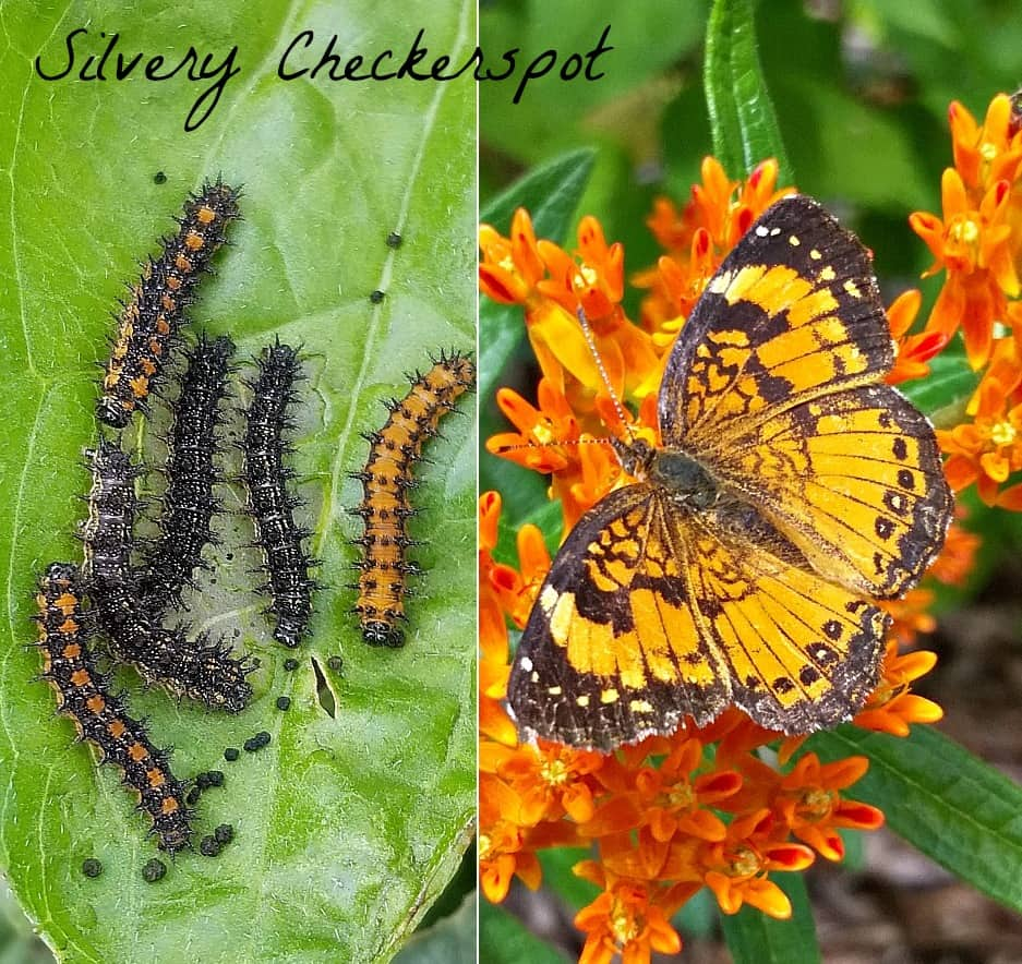 Silvery checkerspot butterfly and caterpillars