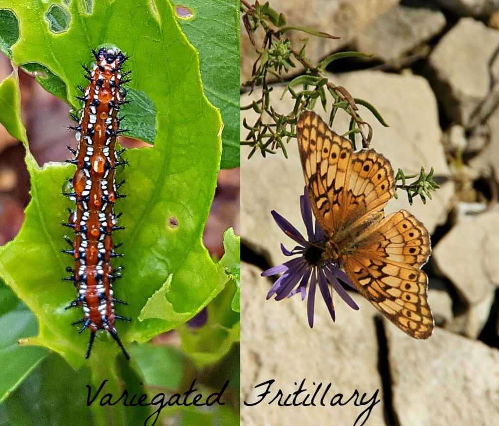 variegated fritillary butterfly and caterpillar
