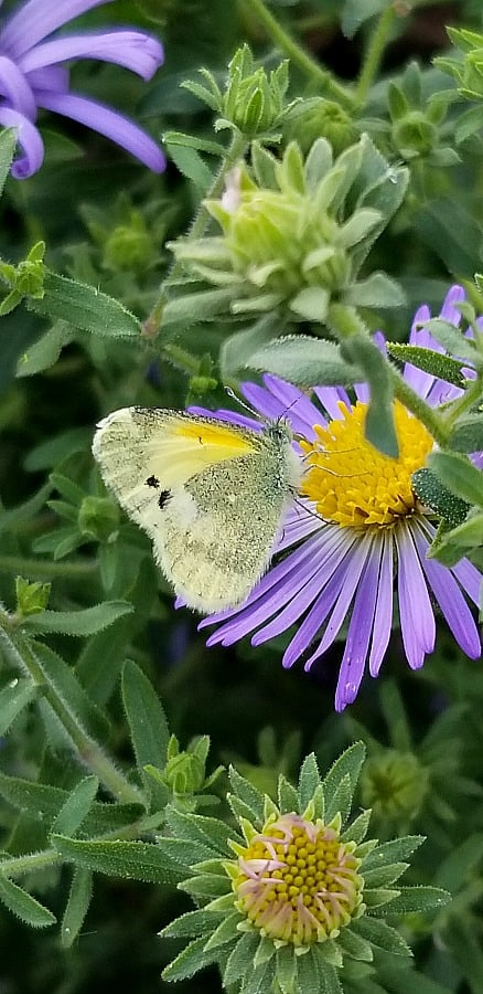 Aromatic aster with butterfly