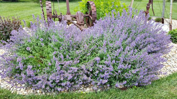 Plant of the Week: Walker's Low Catmint