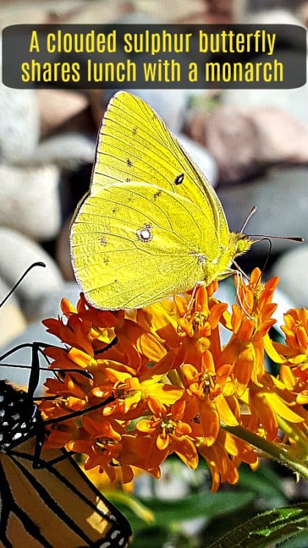 yellow butterfly and monarch on butterfly milkweed