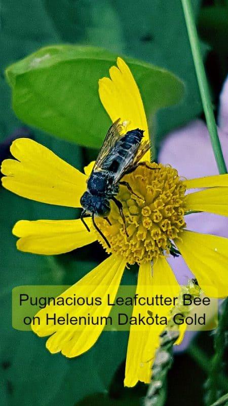 Helenium Dakota Gold with leafcutter bee
