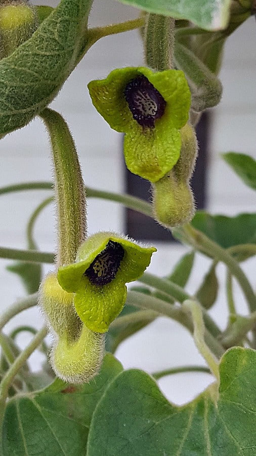 Dutchman's Pipevine blooms