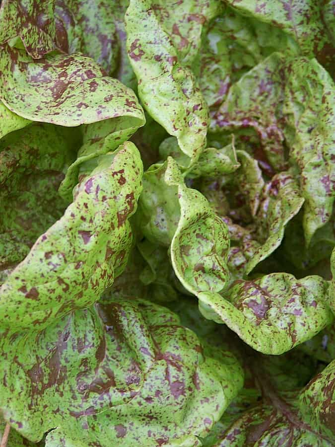 Lettuce 'Speckled Trout'
