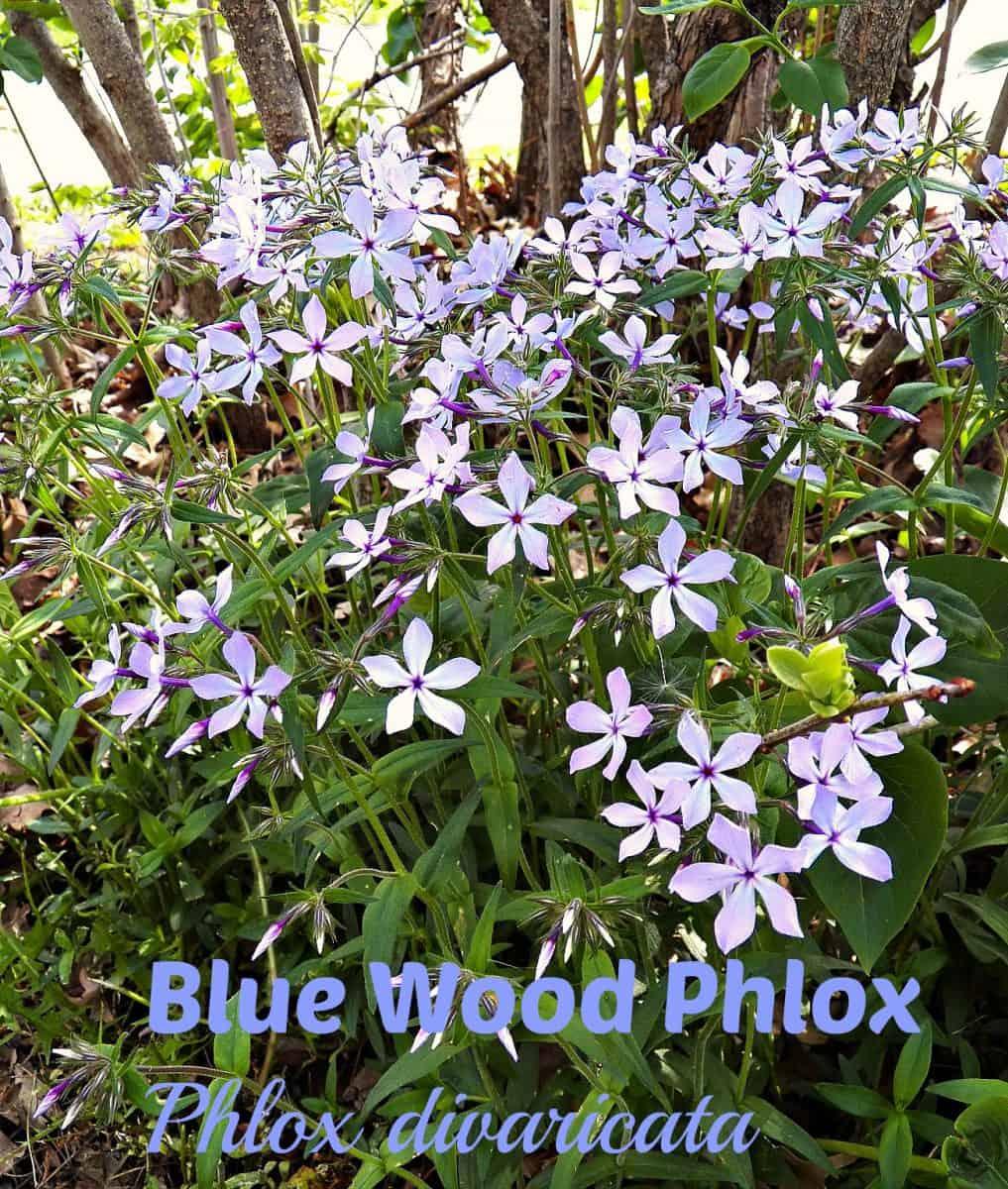 woodland blue phlox