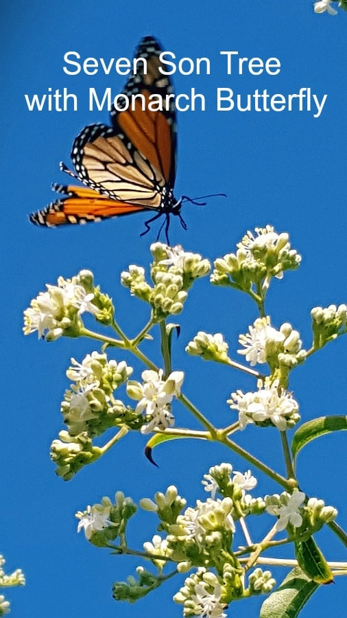 Seven son tree with Monarch butterfly