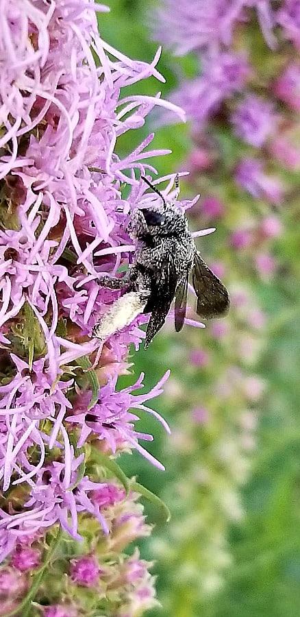 liatris with bee