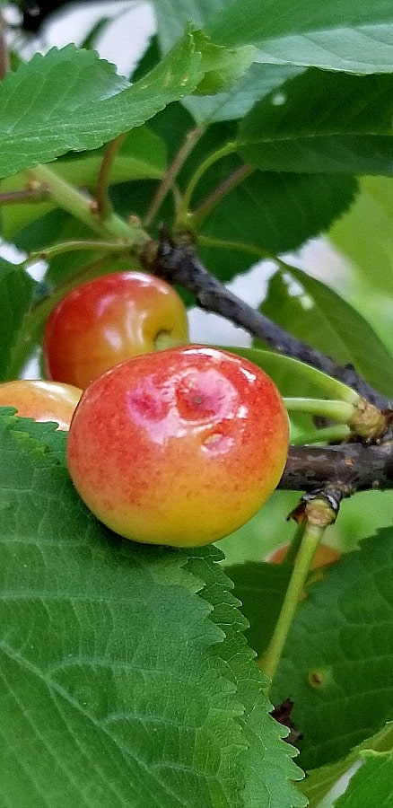 June ripening cherries