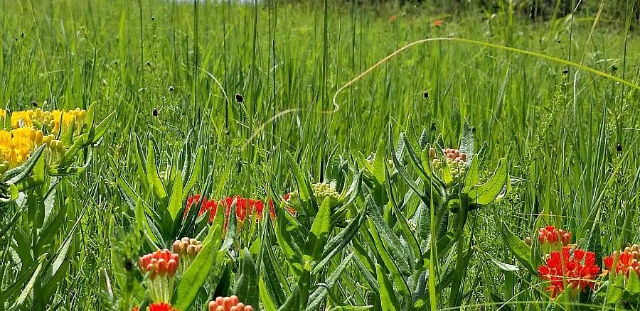 butterfly milkweeds in the prairie