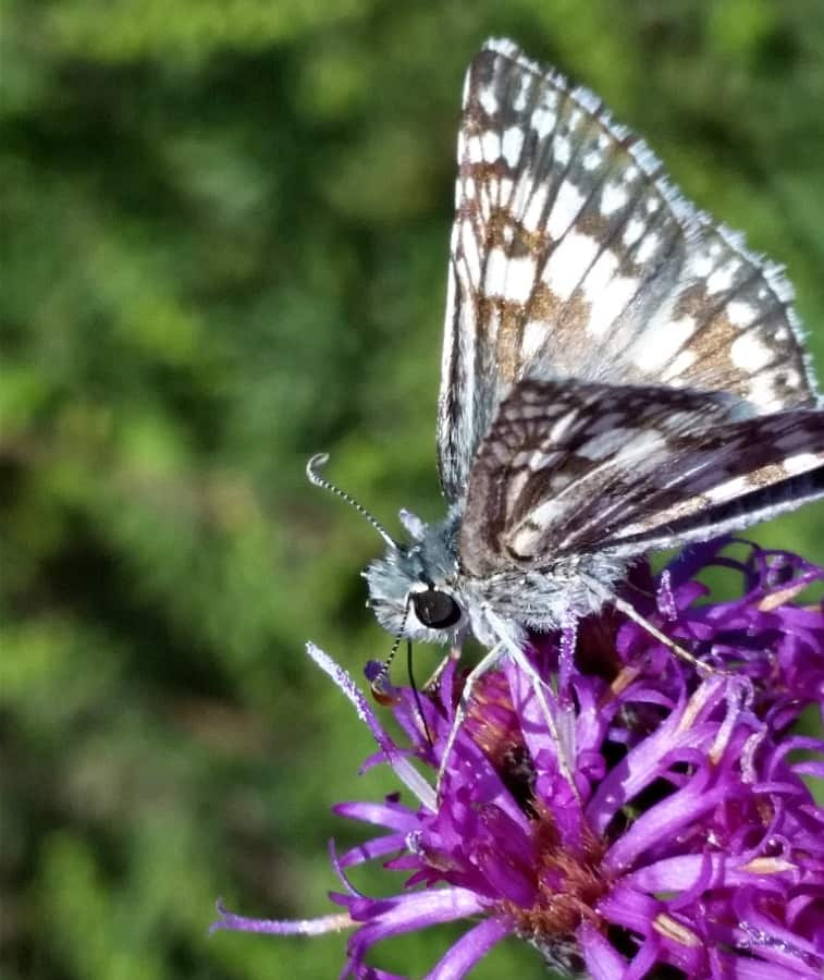 Western ironweed with butterfly