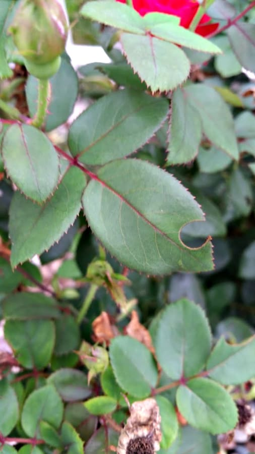 leafcutter bee damage on rose